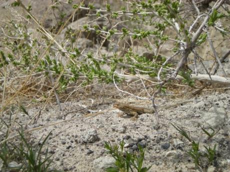 ali-lizard